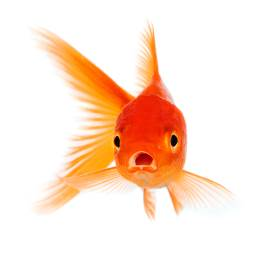 Isolated goldfish facing you